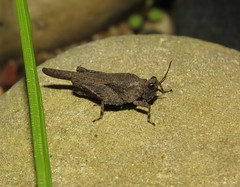 Pygmy grasshopper (Bug Eric) Tags: animals wildlife nature outdoors insects bugs grasshoppers orthoptera tetrigidae pygmygrasshopper littleprairie wisconsin usa northamerica june232019