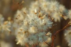 Пушистый октябрь / Furry october (5) (Владимир-61) Tags: осень октябрь природа растения autumn october nature plants sony ilca68 minolta75300