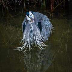 In Deep. (Omygodtom) Tags: wildlife wild bird lowkey blueheron natural nature nikkor nikon nikon70300mmvrlens usgs reflection d7100