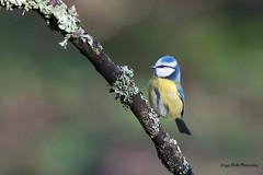 Monopode (Jacques GUILLE) Tags: oiseau domainedesoiseaux mésangebleue 09 ariège cyanistescaeruleus eurasianbluetit mazères paridés passériformes bird