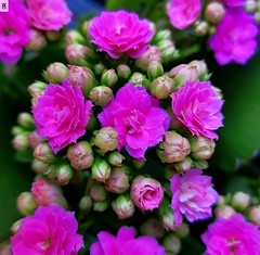 Flores-Bokeh (In Dulce Jubilo) Tags: fotografía flor flores flowers colors colores naturaleza nature rosa rose bokeh