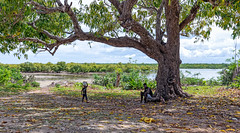 Shade (before Cyclone Kenneth) (Trouvaille Blue) Tags: africa mozambique quirimbas ibo island town archipelago tree shade trouvailleblue