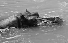Juste un petit bain !!! (François Tomasi) Tags: hippopotame animal monochrome blackandwhite noiretblanc nikon d7200 françoistomasi tomasiphotography justedutalent groupejustedutalent lights light lumière eau water aqua yahoo google flickr iso filtre charentemaritime nouvelleaquitaine sudouest photo photographie photography photoshop 2019 lapalmyre zoo zoodelapalmyre zoom digital numérique