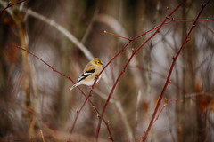 Golden Opportunity (flashfix) Tags: december262019 2019inphotos flashfix flashfixphotography ottawa ontario canada nikond7100 55mm300mm seed bokeh woods nature mothernature bird birdphotography merbleue americangoldfinch goldfinch songbird snow winter cold lines branches winterplumage