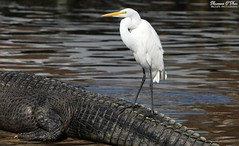 Cautionary tail (Shannon Rose O'Shea) Tags: shannonroseoshea shannonosheawildlifephotography shannonoshea shannon greategret egret bird beak feathers white skinnylegs birdyfeet ardeaalba americanalligator alligator gator alligatormississippiensis tail water nature wildlife waterfowl animal alligatorbreedingmarshandwadingbirdrookery gatorland orlando florida gatorlandbirdrookery rookery outdoors outdoor outside colorful colourful colors colours captive wild flickr smugmug wwwflickrcomphotosshannonroseoshea art photo photography photograph wildlifephotography wildlifephotographer wildlifephotograph femalephotographer girlphotographer womanphotographer shootlikeagirl shootwithacamera throughherlens camera canon canoneos80d canon80d canon100400mm14556lisiiusm eos80d eos 80d 80dbird canon80d100400mmusmii justagirlwithacamera canongirl closeup close animalphotographer naturephotographer birdphotographer