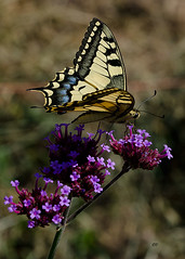 Swallowtail, France. (Dawn Elliott 2017) Tags: swallowtail butterflies wildlife insects macro nikond7000 sigma105mm nature