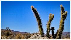 Celebrando el avance / Celebrating the breakthrough (Claudio Andrés García) Tags: cactus mountain trekking montaña senderismo senderism summer naturaleza nature photography flickr shot picture cybershot verano fotografía naturewatcher
