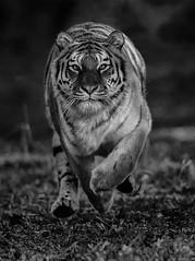 Flying (Jonnyfez) Tags: tschuna mono black white tiger siberian amur yorkshire wildlife park jonnyfez big cat running fast straight