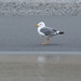 Heuglin's Gull (Larus heuglini)