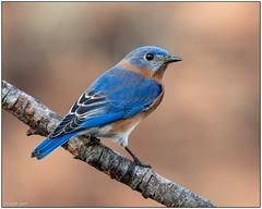 Eastern Bluebird (male) DSC_1226a (blindhogmike) Tags: nature natur wildlife faune tierwelt bird oiseau vogel columbia lexington sc south carolina