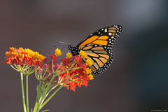Butterfly 2019-188 (michaelramsdell1967) Tags: butterfly butterflies nature macro animal animals insect insects bokeh vivid vibrant beauty beautiful pretty lovely upclose closeup bug bugs wildlife garden milkweed flower flowers detail delicate monarch monarchs meadow zen