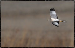Gray Ghost (RKop) Tags: pickawaycounty raphaelkopanphotography ohio d500 600mmf4evr 14xtciii nikon nature handheld