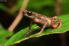 Ansonia longidigita (Long-fingered Slender Toad) (Tom Frisby) Tags: toad amphibian wildlife herpetology fauna animals borneo