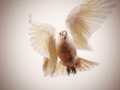 Corella in flight (AdamsWife) Tags: flying corella bird westernaustralia explore inexplore