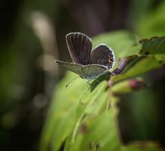 Looking Down (Portraying Life, LLC) Tags: dbg6 da3004 hd14tc k1mkii michigan pentax ricoh unitedstates butterfly closecrop handheld nativelighting skipper meadow tiny blue