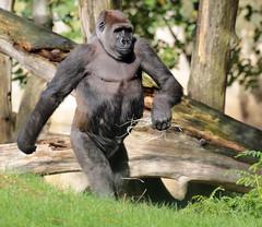 western lowland gorilla Blijdorp BB2A0431 (j.a.kok) Tags: animal mammal zoogdier dier blijdorp africa afrika aap ape monkey mensaap primate primaat gorilla westelijkelaaglandgorilla westernlowlandgorilla lowlandgorilla laaglandgorilla