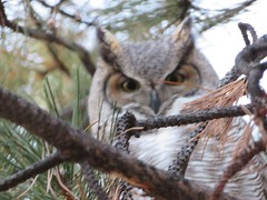 December 26, 2019 - A great horned owl in a tree in Broomfield. (David Canfield)