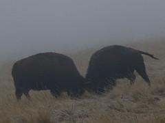 December 26, 2019 - Bison battle in the fog. (Bill Hutchinson)