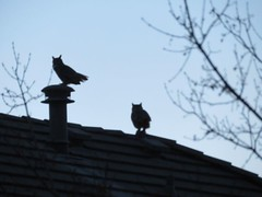 December 24, 2019 - Owls hang out in Broomfield. (David Canfield)