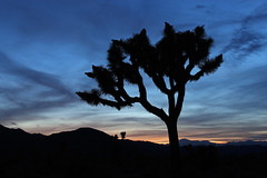 Joshua Tree National Park, California (russ david) Tags: joshua tree national park sunset silhouette travel california ca yucca brevifolia boy scout trail april 2019 hike hiking