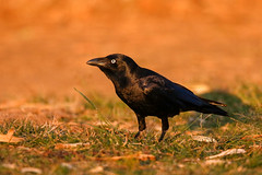 Torresian Crow (Alan Gutsell) Tags: torresiancrow torresian crow corvusorru australiancrow papuancrow corvidae passeriformes goldcoast queenslandbirds queensland alan nature wildlife wildlifephoto birds naturephoto birdsofaustralia canon camera smartestbirds