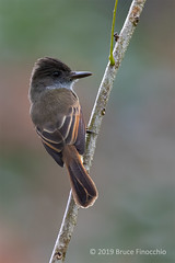 An Alert And Watchful Perched Dusky-capped Flycatcher (brucefinocchio) Tags: alertandwatchfulflycatcher perchedduskycappedflycatcher flycatcher tyrantflycatcher portraitofaduskycappedflycatcher alert watchful myiarchustuberculifer celestemountainlodge caribbeanhighlands costarica