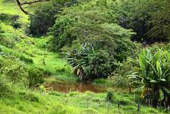 Pequena lagoa entre as bananeiras (Márcia Valle) Tags: belmirobraga juizdefora minasgerais brasil brazil green verde nature natureza nikon d5100 verão summertime lagoa pond bananeiras bananas trees árvores