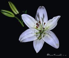 white lilie - Lirio blanco (Luis FrancoR) Tags: nikonistas nikon60mm28 nikon nikond850 nikonbest nikonflickraward 60mmf28gmicro luisfrancor luisfrancorebgmailcom ng ngd ngc ngg ngm ngo ngs ngw flowers lirioblancowhitelilies lilies flor flores macro