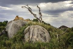 Young Male Lion on a Kjope, Serengeti (ms2thdr) Tags: africa safari serengeti serengetiplains tanzania lion kjope rock sky clouds safarianimal