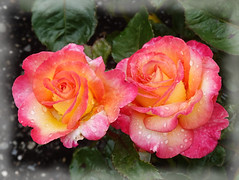 God gave us memory so that we might have roses in December.  (James M. Barrie) (boeckli (on vacation)) Tags: waterdrops raindrops roses rosen rose blumen blume blüten blossom bloom blossoms blooms outdoor outside wellington newzealand ladynorwoodrosegarden nature natur garden garten tropicalskies 022496 wassertropfen rx100m6 ff