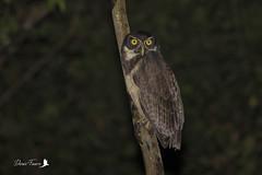 Chouette à lunettes - Pulsatrix perspicillata - Spectacled Owl (denisfaure973) Tags: chouette lunettes pulsatrix perspicillata spectacled owl guyane french guiana rapace oiseau hiboux