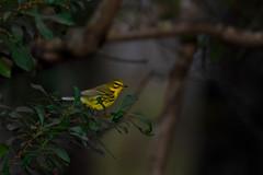 Prairie Warbler (BEHP Photography) Tags: bokeh ngc nikkor nikon d850 prairie warbler fort myers florida birds yellow green