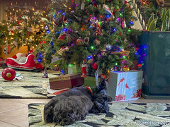 IMG_1969-Edit (Laurie2123) Tags: christmas2019 christmastree laurieabbotthartphotography laurieturner laurieturnerphotography laurietakespics odc odc2019 ourdailychallenge iphone11promax laurie2123 scottishterrier scottie maggie
