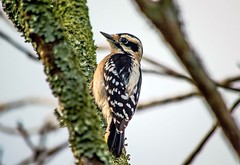 Late In The Day (ACEZandEIGHTZ) Tags: downywoodpecker nikond3200 closeup feathers wings winged nature picoidespubescens tree branch lichen bird avian macro bokeh backyard birdwatcher alittlebeauty coth coth5 sunrays5 ngc