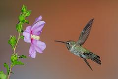 Anna's Hummingbird and Rose of Sharon (Eric Gofreed) Tags: annashummbingbird arizona hummingbird mybackyard roseofsharon sedona yavapaicounty