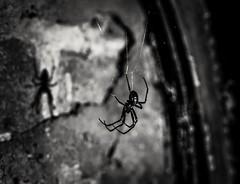 Shadow in the dark (A.K. 90) Tags: blackandwhite lightsandshadows schwarzweis lichtschatten animal spider spinne tier sonyalpha6300 sigma30mm14 creative grey grau nahaufnahme makro inside darkness dunkelheit mirror