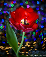 -20191226 Hanging Out and Waiting for Santa 24-Edit (Laurie2123) Tags: burnside35 christmas2019 christmasbokeh laurieabbotthartphotography laurieturner laurieturnerphotography lensbaby nikond800 home laurie2123 tulips hss