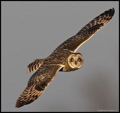 Shorty 200% (RKop) Tags: topazai raphaelkopanphotography pickawaycounty d500 600mmf4evr 14xtciii nikon nature owl shortearedowl