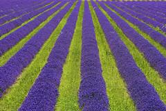 P1140985 (alainazer) Tags: revestdubion provence france fiori fleurs flowers fields champs colori colors couleurs lavande lavanda lavender
