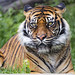 A nice portrait of the tigress