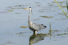 K32P5850c Grey Heron, Lackford Lakes, September 2019 (bobchappell55) Tags: ardeacinerea lackfordlakes suffolk bird greyheron nature water wild wildlife