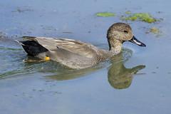 K32P5812 Gadwall, Lackford Lakes, September 2019 (bobchappell55) Tags: anasstrepera lackfordlakes suffolk bird duck gadwall nature water wild wildlife