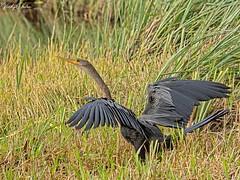 🇺🇸 Anhinga drying it's wings. (vickyoutenphoto) Tags: vickyouten anhinga wildlife nature nikon nikond7200 nikkor55300mm evergladesnationalpark florida usa