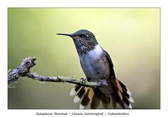Volcano hummingbird #2 (Jan H. Boer, Nature photographer) Tags: selasphorusflammula volcanohummingbird vulkaankolibire birds hummingbirds smallhummingbirds nature wildlife portrait costarica sangerardodedota highlands nikon d500 afsnikkor200500f56e jansphotostream2019
