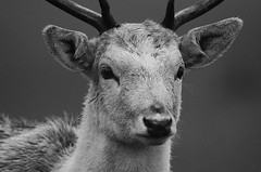 Sorrel Portrait (andy_AHG) Tags: wildlife winter stag fallowdeerbuck antlers animals nikond300s yorkshire