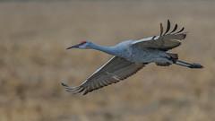 Sandhill Crane  0605 (Paul McGoveran) Tags: bif bird birdinflight longpoint nature nikon500mmf4 nikond850 norfolkcounty sandhillcrane wings coth5