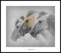 Konik horses Oostvaardersveld Lelystad