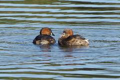 K32P5979a  Little Grebe, Lackford Lakes, September 2019 (bobchappell55) Tags: lackfordlakes suffolk tachybaptusruficollis bird littlegrebe nature water wild wildlife