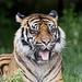 Sumatran tigress showing her tongue