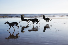 Running with the Hounds 52/52 (rmrayner) Tags: lurcher races dogs dawlishwarren devon silhouettes beach seaside evolution grafting geneticengineering childdoghybrid reflections sand shore 52weeksthe2019edition 5252 strange centaurs centaurdogs weird science hss sliderssunday creepy doctormoreau